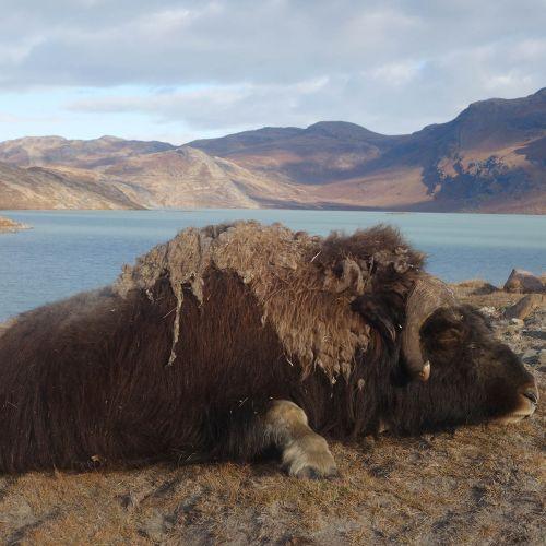 Jakt på Grönland | Kombinationsjakt i Grönland